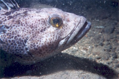 A watchful lingcod