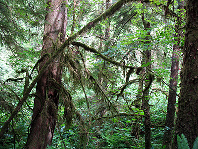 Lichen hangs from the trees in Lynn Headwaters Regional Park