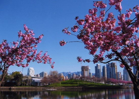 cherry tree blossom festival. Vancouver cherry trees in