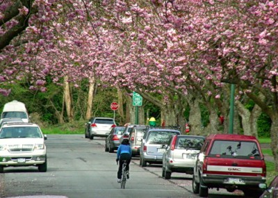 Bike ride graced by cherry blossom trees. Heading towards University of British Columbia, on a signed bike route. Vancouver, BC. Photo by J. Chong