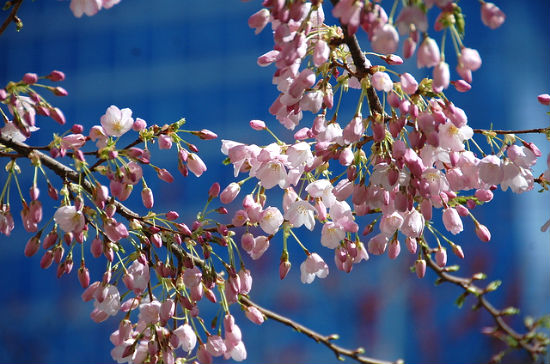 in Beijing is famous for its cherry blossoms in spring The cherry