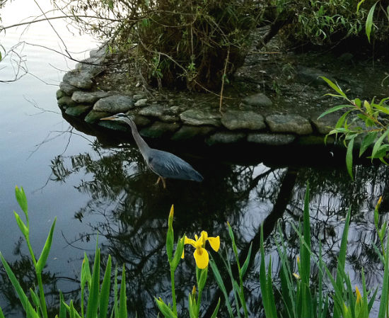 Pacific great blue heron at Stanley Park. Photo credit: Flickr user scazon
