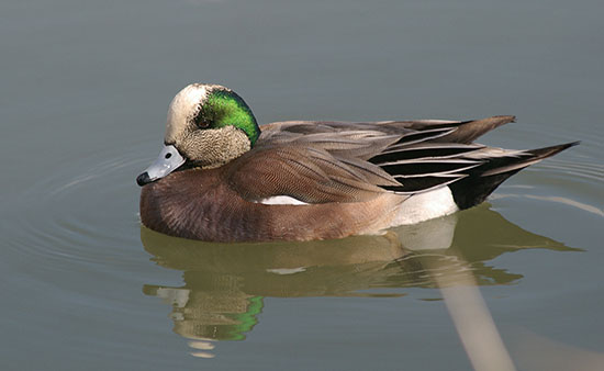American Widgeon. Photo Credit: Kathy Stewart/Bird Studies Canada