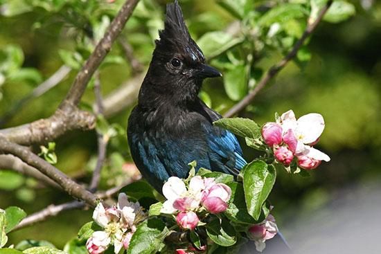 Stellers Jay. Photo credit: Chris Dale/Bird Studies Canada