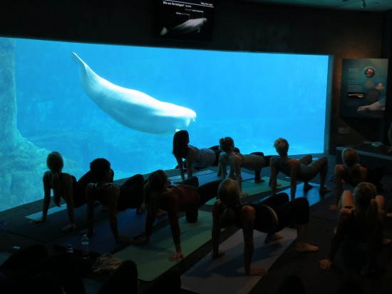 yoga with beluga whales vancouver aquarium