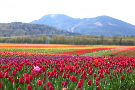 Agassiz Tulips of the Valley Festival | Things To Do In Vancouver This Weekend