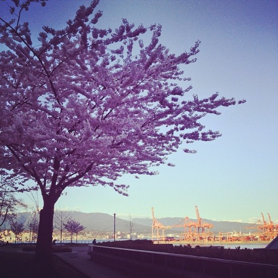Vancouver Cherry Blossom Festival | Things To Do In Vancouver This Weekend