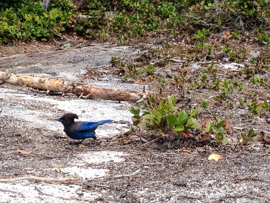 Keep an eye out for wildlife, including hungry Stellar's jays.