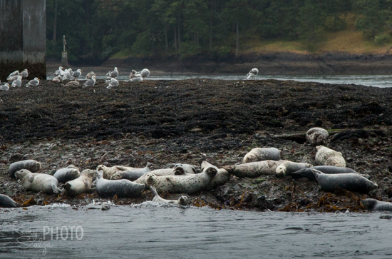 A colony of seals lounges on a small rocky island in the middle of Active Pass.