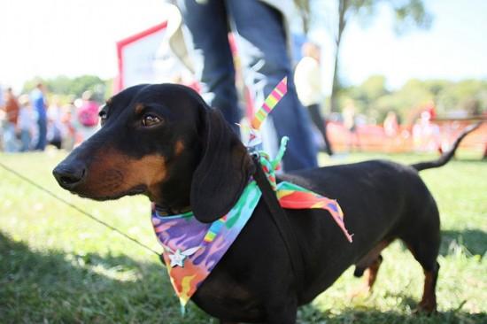 wiener dog races vancouver 2014