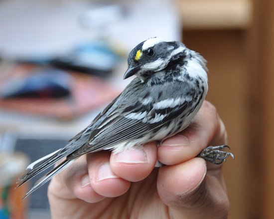 A black throated grey warbler || Photo Credit: WildResearch