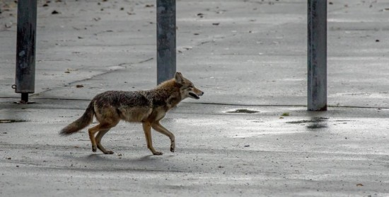 Stanley Park Ecology Society - Coyote City | Things To Do In Vancouver This Weekend