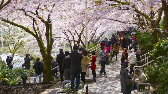 Photo sourced from Vancouver Cherry Blossom Festival