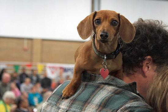 wiener dog races vancouver 2015