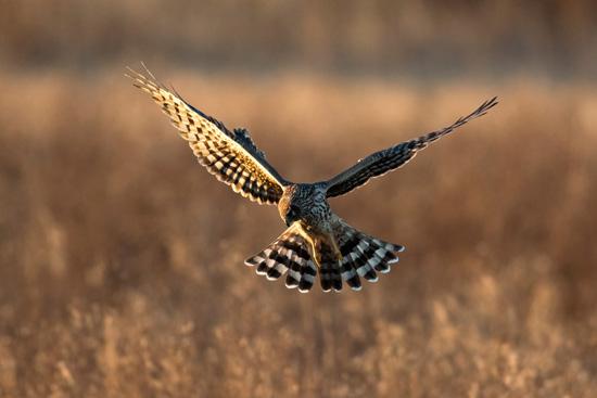 Northern Harrier | Photo Credit: Liron Gertsman