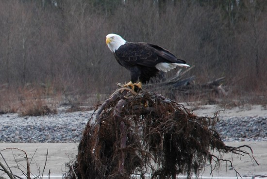 eagles in vancouver