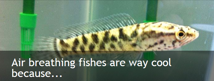 essay on air breathing fishes The air breathing teleost, clarias batrachus (linn) has been selected as a test species because it is the most important fresh water fish species found in wetlands of north bihar and the worst sufferer.