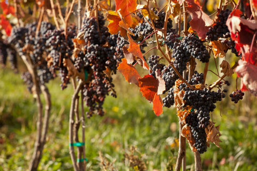 Grapes ready for harvest in Oliver | Photo courtesy of the Wines of British Columbia