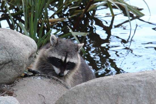 Racoon-in-Stanley-Park,-Vancouver-BC