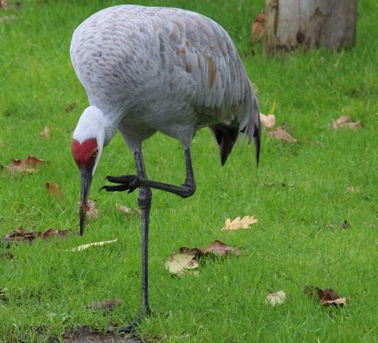 Sandhill Crane George C. Reifel Migratory Bird Sanctuary Vancouver