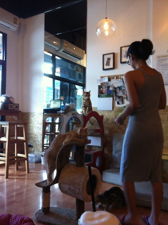 Scene from a cat cafe in Chiang Mai, Thailand. Shawn Conner photo.