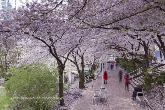 The Best Places To See Cherry Blossoms In Vancouver Inside Vancouver Bloginside Vancouver Blog