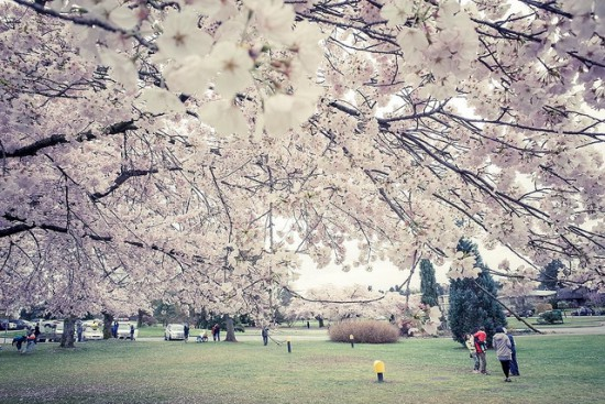 cherry blossoms vancouver 2016