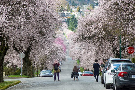 cherry blossom trees vancouver