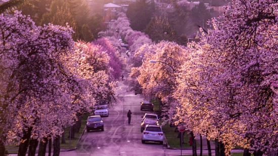 best cities cherry blossoms