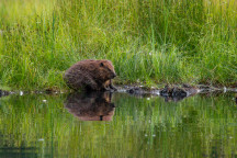 Water Loving Otters and Beavers | photo: Mark White