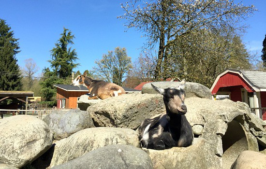 The Goats at Maplewood Farm | Photo: Bianca Bujan