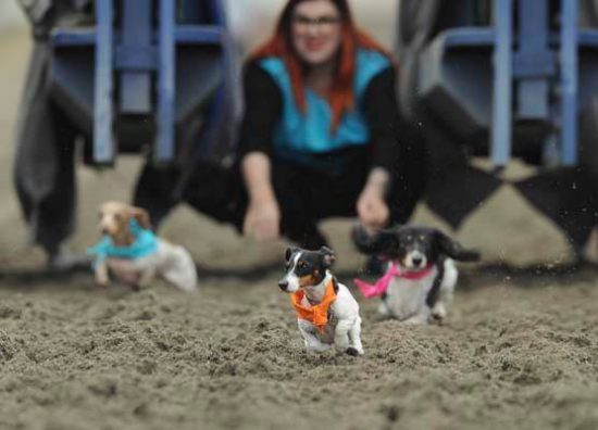 wiener dog races 2016