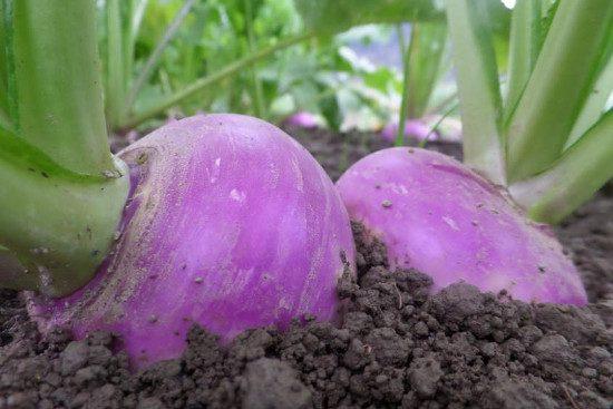 farmers-market-turnips