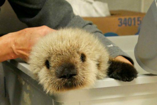 vancouver aquarium sea otter