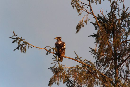 fraser-valley-bald-eagle-festival-discover-the-outdoors2