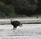 fraser-valley-bald-eagle-festival-discover-the-outdoors3