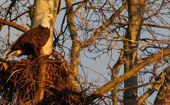 fraser-valley-bald-eagle-festival-discover-the-outdoors4
