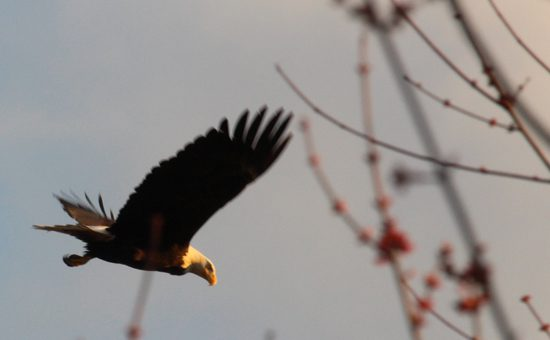 fraser-valley-bald-eagle-festival-discover-the-outdoors5
