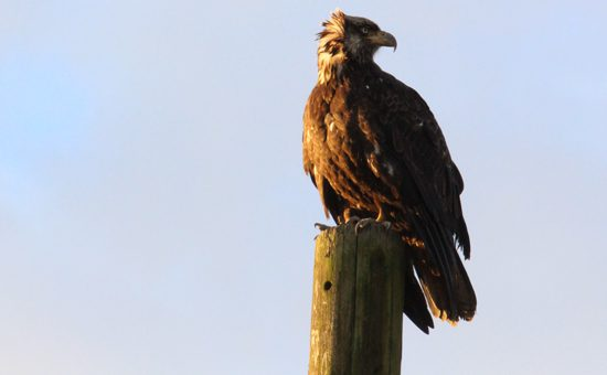 fraser-valley-bald-eagle-festival-discover-the-outdoors6