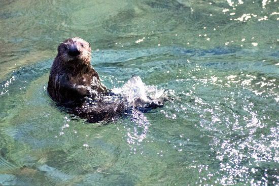 New Otter Pup | Photo: Vancouver Aquarium