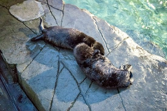 Brother-sister otter pups | Photo: Vancouver Aquarium