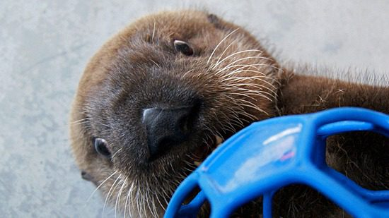 New Sea Otter Pup | Photo: Daniela Ruiz (Alaska Sea Life Center)