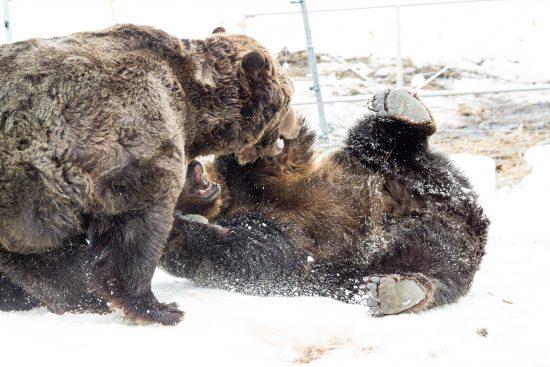 grouse mountain grizzlies