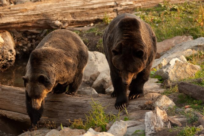 Two grizzly bears at Grouse Mountain in North Vancouver, BC
