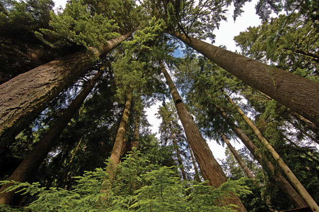 Looking up into a stand of huge trees on Vancouver's North Shore.