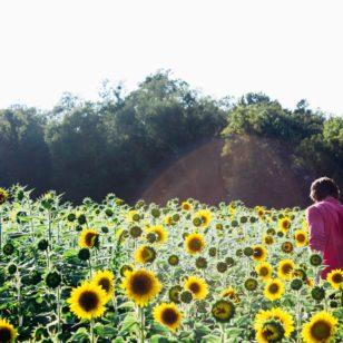 vancouver sunflower festival 2019