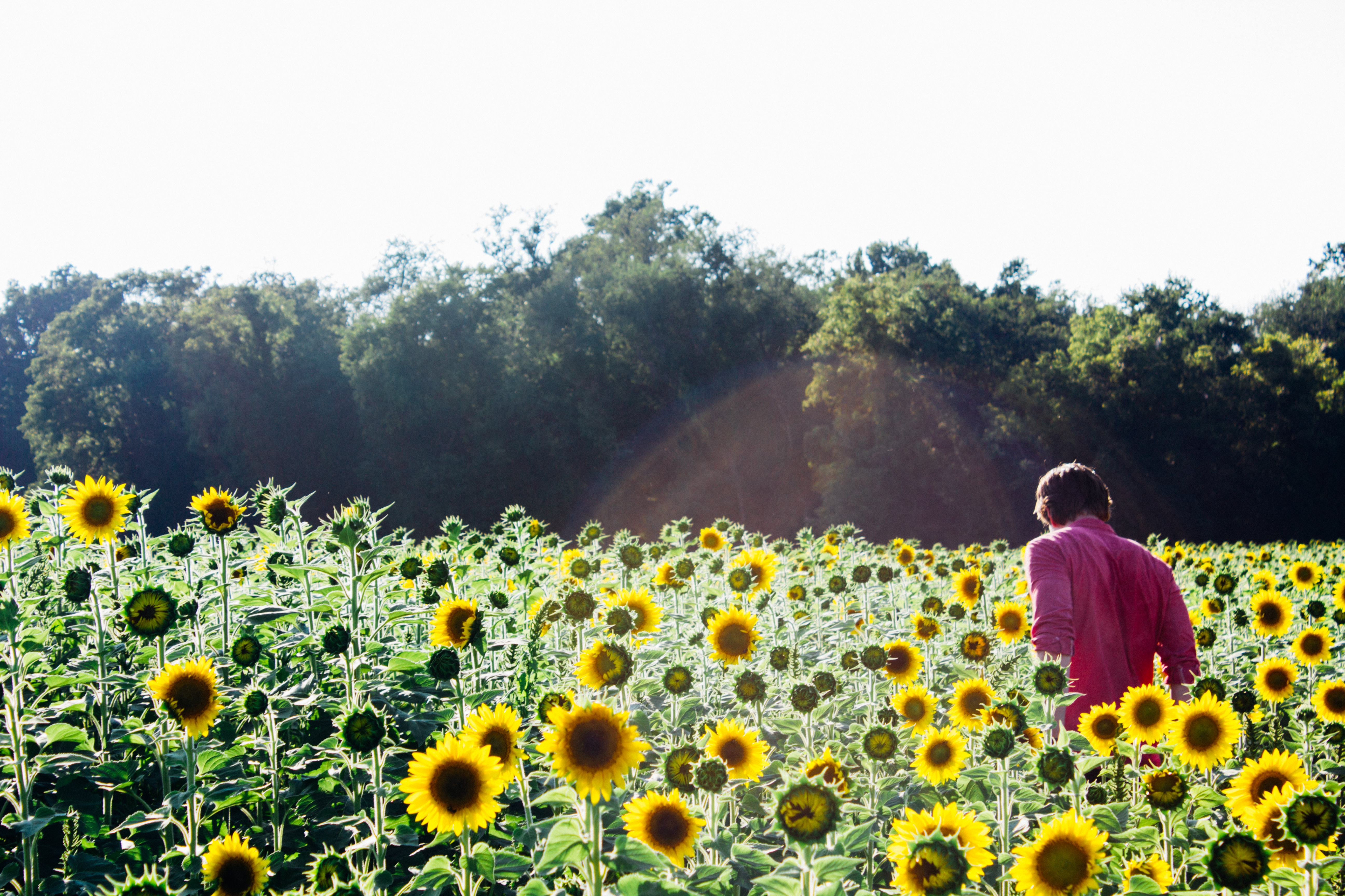 Don't miss this! Two amazing sunflower festivals in the Lower Mainland on until September 15 - Inside Vancouver Blog