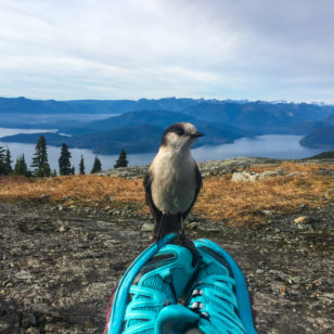 A whiskey jack bird sits on top of hiker