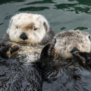 Two otters floating in water on their backs, holding hands, one is asleep