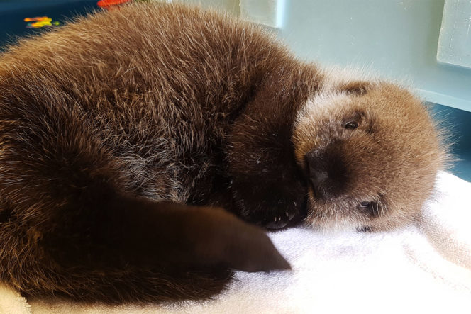 Fluffy baby Sea Otter curled up on a towel
